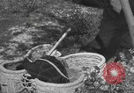 Image of Farmers plowing fields with wooden plows and horses Spain, 1937, second 55 stock footage video 65675062079