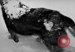 Image of dogs Antarctica, 1947, second 27 stock footage video 65675062646