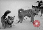 Image of dogs Antarctica, 1947, second 62 stock footage video 65675062646