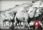 Image of Small boy walking with camels Amman Transjordan, 1945, second 18 stock footage video 65675062976