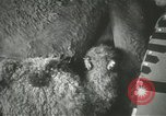 Image of baby camels Chicago Illinois USA, 1933, second 22 stock footage video 65675063205