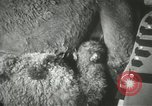 Image of baby camels Chicago Illinois USA, 1933, second 23 stock footage video 65675063205