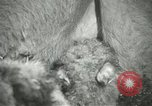Image of baby camels Chicago Illinois USA, 1933, second 31 stock footage video 65675063205