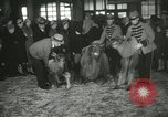 Image of baby camels Chicago Illinois USA, 1933, second 40 stock footage video 65675063205