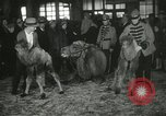 Image of baby camels Chicago Illinois USA, 1933, second 43 stock footage video 65675063205