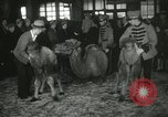 Image of baby camels Chicago Illinois USA, 1933, second 44 stock footage video 65675063205