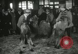 Image of baby camels Chicago Illinois USA, 1933, second 46 stock footage video 65675063205
