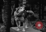 Image of sled dogs Wonalancet New Hampshire USA, 1939, second 9 stock footage video 65675070946