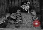 Image of sled dogs Wonalancet New Hampshire USA, 1939, second 19 stock footage video 65675070946