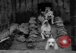 Image of sled dogs Wonalancet New Hampshire USA, 1939, second 20 stock footage video 65675070946
