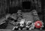 Image of sled dogs Wonalancet New Hampshire USA, 1939, second 22 stock footage video 65675070946