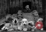 Image of sled dogs Wonalancet New Hampshire USA, 1939, second 23 stock footage video 65675070946