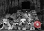 Image of sled dogs Wonalancet New Hampshire USA, 1939, second 24 stock footage video 65675070946