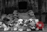 Image of sled dogs Wonalancet New Hampshire USA, 1939, second 25 stock footage video 65675070946