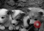 Image of sled dogs Wonalancet New Hampshire USA, 1939, second 27 stock footage video 65675070946