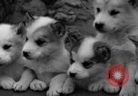 Image of sled dogs Wonalancet New Hampshire USA, 1939, second 29 stock footage video 65675070946