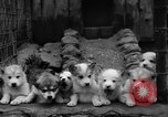 Image of sled dogs Wonalancet New Hampshire USA, 1939, second 35 stock footage video 65675070946