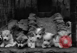 Image of sled dogs Wonalancet New Hampshire USA, 1939, second 36 stock footage video 65675070946