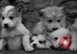 Image of sled dogs Wonalancet New Hampshire USA, 1939, second 42 stock footage video 65675070946