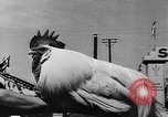 Image of agricultural show Bellahoj Denmark, 1943, second 57 stock footage video 65675071390