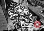Image of Alewives Maine United States USA, 1957, second 47 stock footage video 65675071463