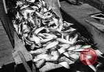 Image of Alewives Maine United States USA, 1957, second 48 stock footage video 65675071463