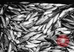 Image of Alewives Maine United States USA, 1957, second 51 stock footage video 65675071463