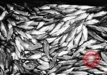Image of Alewives Maine United States USA, 1957, second 52 stock footage video 65675071463