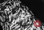 Image of Alewives Maine United States USA, 1957, second 55 stock footage video 65675071463