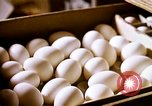 Image of harvesting chickens fruits and vegatables United States USA, 1956, second 19 stock footage video 65675071652