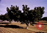 Image of harvesting chickens fruits and vegatables United States USA, 1956, second 36 stock footage video 65675071652