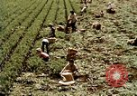 Image of harvesting chickens fruits and vegatables United States USA, 1956, second 62 stock footage video 65675071652
