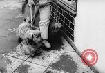 Image of poodles Bornhoeved Germany, 1962, second 5 stock footage video 65675071768