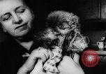 Image of poodles Bornhoeved Germany, 1962, second 21 stock footage video 65675071768
