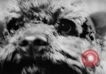 Image of poodles Bornhoeved Germany, 1962, second 22 stock footage video 65675071768