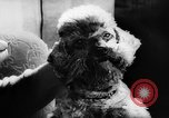 Image of poodles Bornhoeved Germany, 1962, second 32 stock footage video 65675071768
