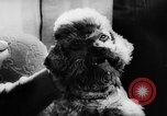 Image of poodles Bornhoeved Germany, 1962, second 33 stock footage video 65675071768