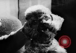 Image of poodles Bornhoeved Germany, 1962, second 34 stock footage video 65675071768