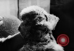 Image of poodles Bornhoeved Germany, 1962, second 35 stock footage video 65675071768