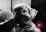 Image of poodles Bornhoeved Germany, 1962, second 36 stock footage video 65675071768