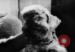 Image of poodles Bornhoeved Germany, 1962, second 37 stock footage video 65675071768