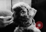 Image of poodles Bornhoeved Germany, 1962, second 38 stock footage video 65675071768