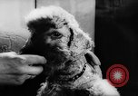 Image of poodles Bornhoeved Germany, 1962, second 39 stock footage video 65675071768