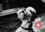 Image of poodles Bornhoeved Germany, 1962, second 46 stock footage video 65675071768
