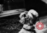 Image of poodles Bornhoeved Germany, 1962, second 47 stock footage video 65675071768