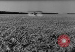 Image of pea crop New Jersey United States USA, 1946, second 39 stock footage video 65675072231