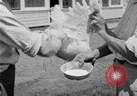 Image of chicken raising United States USA, 1919, second 58 stock footage video 65675072551