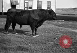 Image of cattle ranch United States USA, 1922, second 11 stock footage video 65675072785
