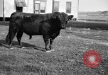 Image of cattle ranch United States USA, 1922, second 13 stock footage video 65675072785