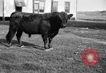 Image of cattle ranch United States USA, 1922, second 14 stock footage video 65675072785